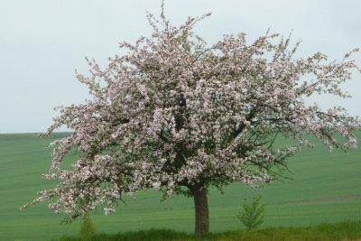Ein alter Apfelbaum in voller Blüte