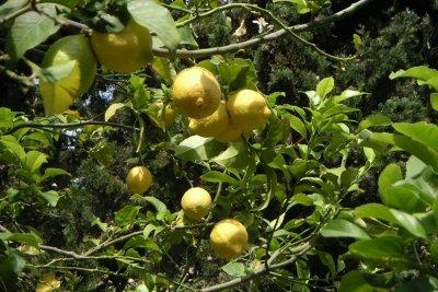 BeI Idealer Pflege trägt Ihr Zitrusbaum viele Früchte.