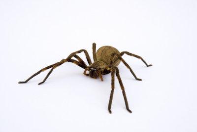 Vor Hausspinnen brauchen Sie keine Angst zu haben.