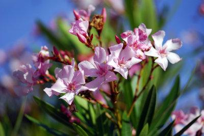 Ihr Oleander als Kübelpflanze benötigt ein Winterquartier.