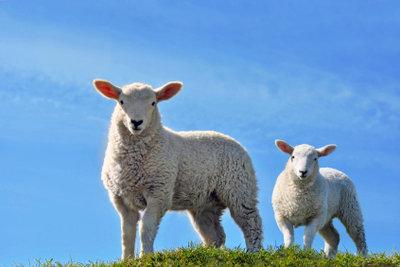 Sie können Schafe in Minecraft züchten.
