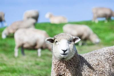 Ein Schafgesicht einfach nachschminken
