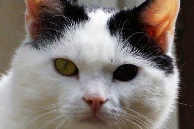 Verschiedenfarbige Augen bei einer Katze
