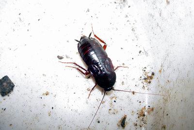Kakerlaken fressen Ihre Vorräte an.