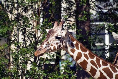 An der Giraffe kann man gut die Evolution erkennen.