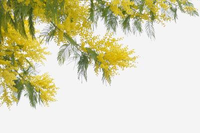 Die Blätter der Mimose bieten ein interessantes Schauspiel.