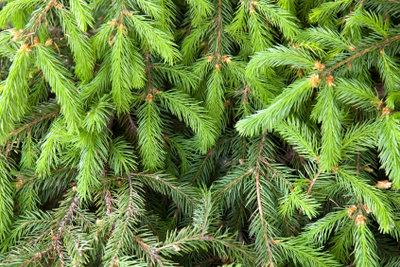 Große Tannenzweige als Alternative zum teuren Weihnachtsbaum