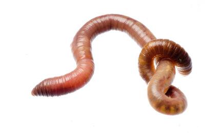 Regenwürmer zu züchten, ist einfach.