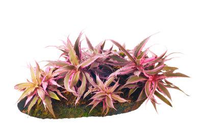 Die Bromelie ist eine Pflanze für Menschen, die Exotik schätzen.