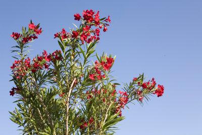 Der Oleander ist wunderschön, aber auch anfällig für Krankheiten.