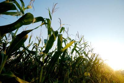 Getreidemais bildet die Grundlage für Cornflakes.