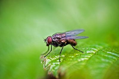 Die Nahrung der Stubenfliegen ist vielfältig.