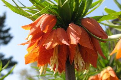 Die Kaiserkrone bildet lange Blütenstiele.