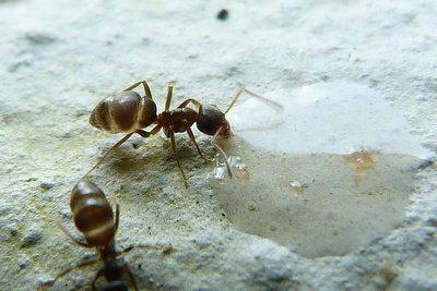 Bekämpfen Sie die Ameisen nicht mit Gift.