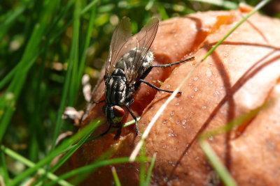Fliegen fressen auch verwesende Pflanzen.