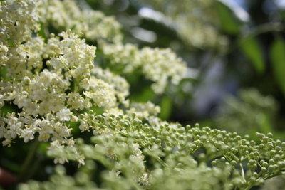 Die Blüten des Elderbuschs oder Holunderbuschs duften herrlich.
