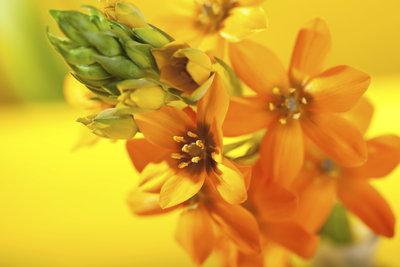 Der Gärtnerschreck ist ein pflegeleichtes Zwiebelgewächs mit ausdauernder Blütezeit.