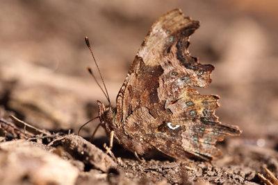 Nachtfalter Motte