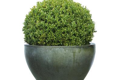 Der Buchsbaum ist eine sehr beliebte Kübelpflanze.