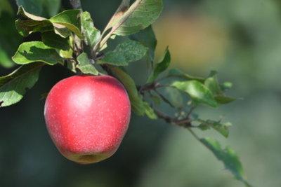 Apfelessig wird aus Apfelsaft gewonnen.