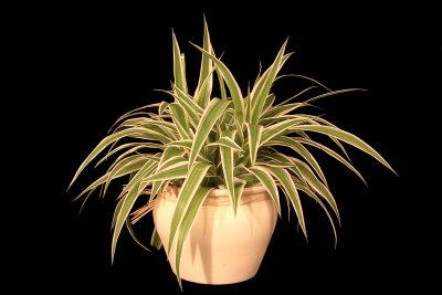 Zimmerpflanzen befeuchten die Luft auf natürliche Weise.