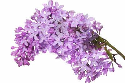 Die Blüten des Gemeinen Flieders sind nicht giftig.