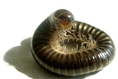 Schnurfüßer werden oft mit Würmern verwechselt.