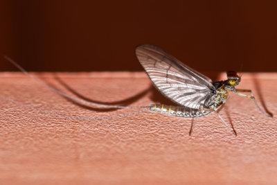 Eintagsfliegen können zur Plage werden.