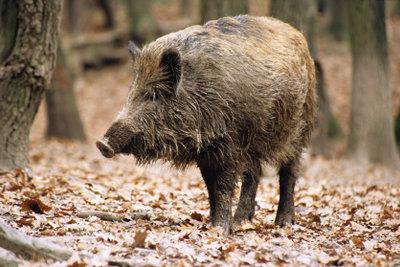 Wildschwein vor dem Zerlegen