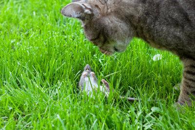 Katzen sind die besten und natürlichsten Mäusejäger der Welt.