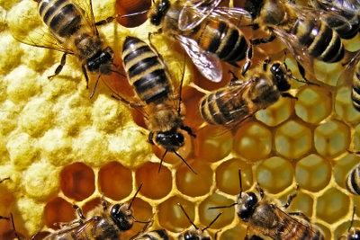 Bienen versorgen uns mit gutem Honig.