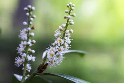 Der Kirschlorbeer kann auch wunderschön blühen.