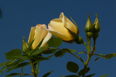 Was bedeuten gelbe, rote und weiße Rosen?