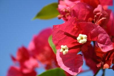 Bei der Bougainvillea sind die Hochblätter attraktiv.