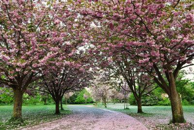 Der Blutpflaumenbaum blüht rosarot.