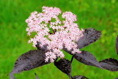Durch Schneiden bekommt der Holunderbaum viele schöne und schmackhafte Blüten.