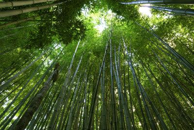 Ein gesunder Bambus ohne braune Blätter ist eine besonders attraktive Pflanze.