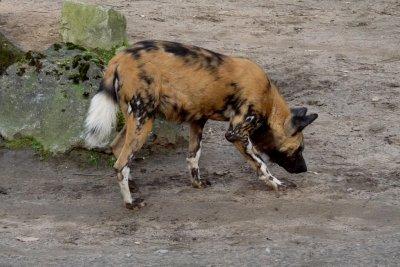 Vorsicht bei Hunden aus Kamerun.