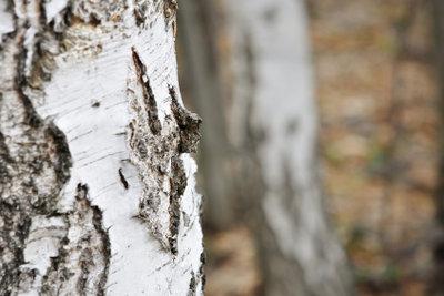 Birken werfen ihre Rinde ab, weil der Stamm wächst.