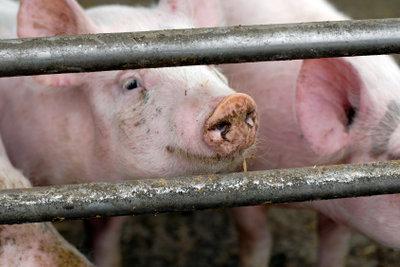 Massentierhaltung ist mit Tierleid verbunden.