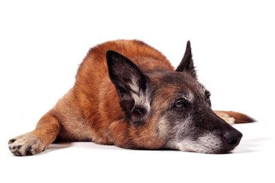 Der Hund fühlt sich müde und schlapp.