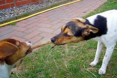 Auch Hunde zerren gegen Langeweile.