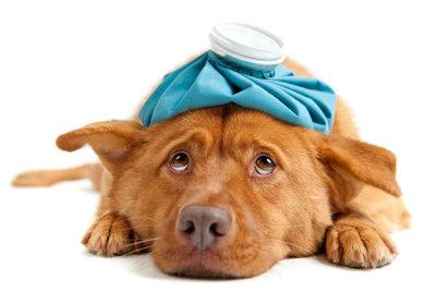 Fieber beim Hund ist ein Begleitsymptom.