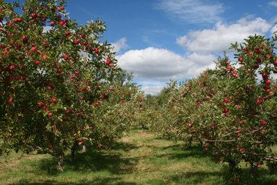 Gerade Apfelbäume sind häufig vom Apfelspinner befallen.