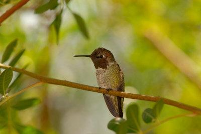 Kolibris wirken wie Elfen.
