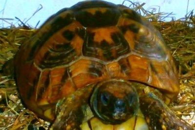 Bauen Sie ein Frühbeet für Schildkröten.