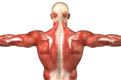 Wie viele Muskeln hat der Mensch?