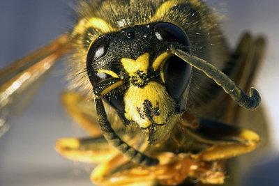 Hornissen verteidigen den Nestbereich.