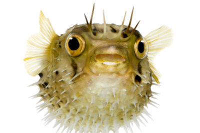 Der Kugelfisch ist ein beliebter Bewohner eines Brackwasseraquariums.