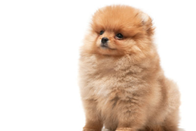 Der Boo ist ein Pomeranian.